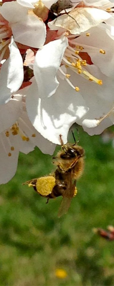 Bee Pollinating Blossom