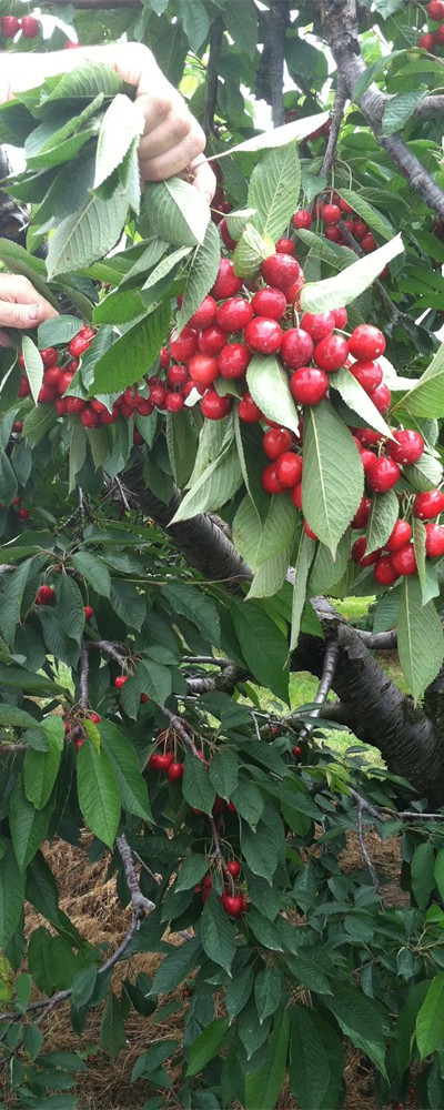Must check cherries daily for diseases